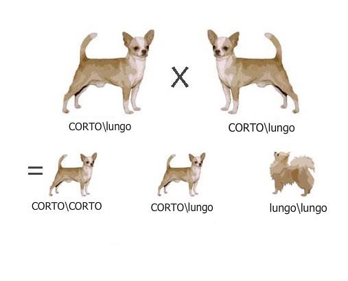 Accoppiamento chihuahua pelo corto e lungo